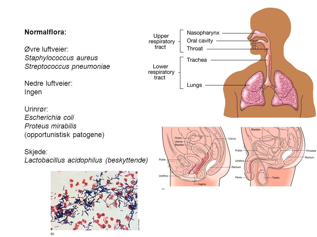 Normalflora: Øvre luftveier: Staphylococcus aureus Streptococcus pneumoniae Nedre luftveier: Ingen Urinrør: Escherichia coli Proteus mirabilis (opport