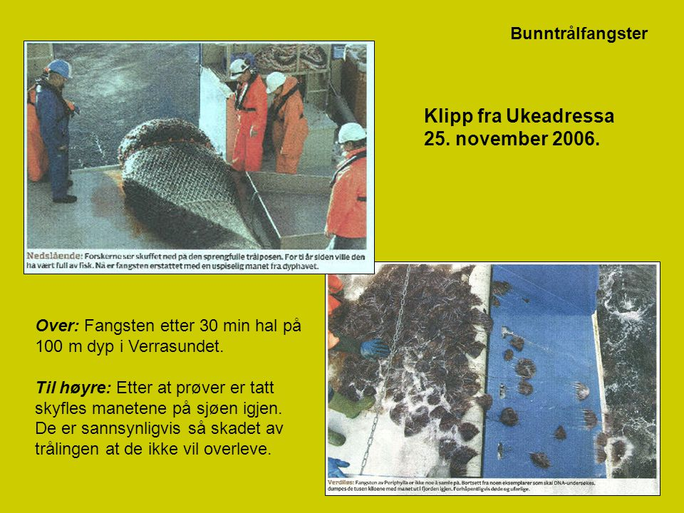 28 Klipp fra Ukeadressa 25. november 2006. Over: Fangsten etter 30 min hal på 100 m dyp i Verrasundet. Til høyre: Etter at prøver er tatt skyfles mane
