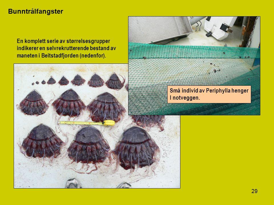 29 Bunntrålfangster En komplett serie av størrelsesgrupper indikerer en selvrekrutterende bestand av maneten i Beitstadfjorden (nedenfor). Små individ