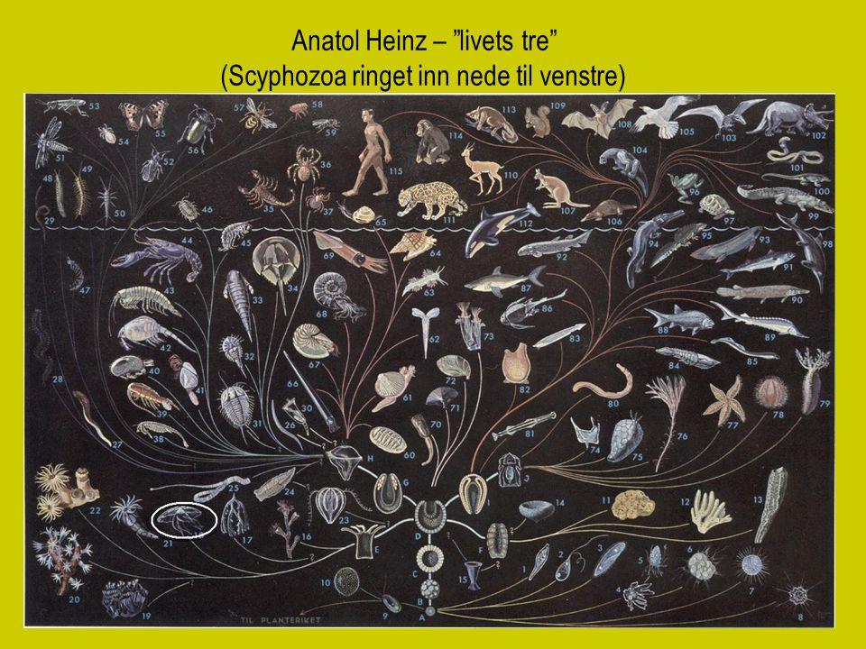 """5 Anatol Heinz – """"livets tre"""" (Scyphozoa ringet inn nede til venstre)"""