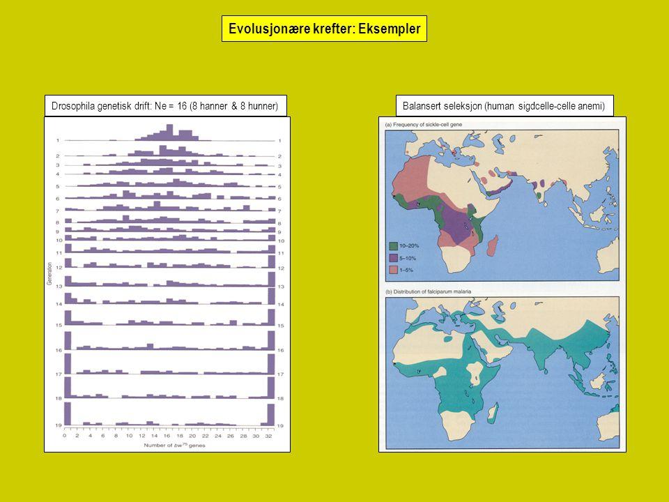 Drosophila genetisk drift: Ne = 16 (8 hanner & 8 hunner)Balansert seleksjon (human sigdcelle-celle anemi) Evolusjonære krefter: Eksempler