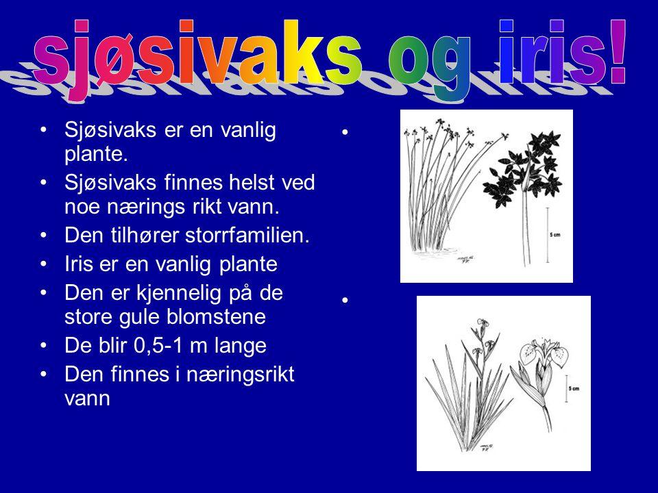 Grastjønaks er en sjelden plante Den lever ikke i forurenset vann.