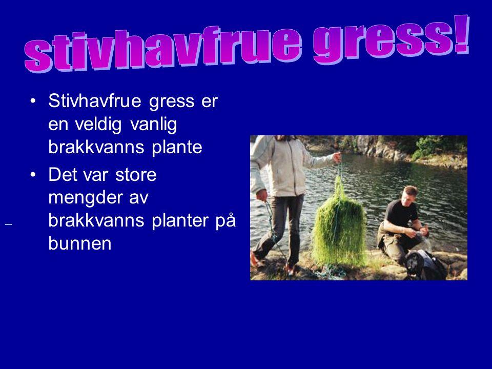 Elvesnelle er en sjelden plante Elvesnelle vokser særlig i stilleflytende elver.