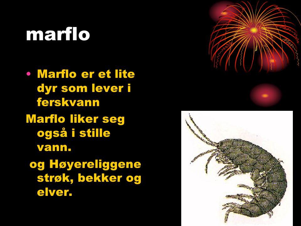 marflo Marflo er et lite dyr som lever i ferskvann Marflo liker seg også i stille vann. og Høyereliggene strøk, bekker og elver.