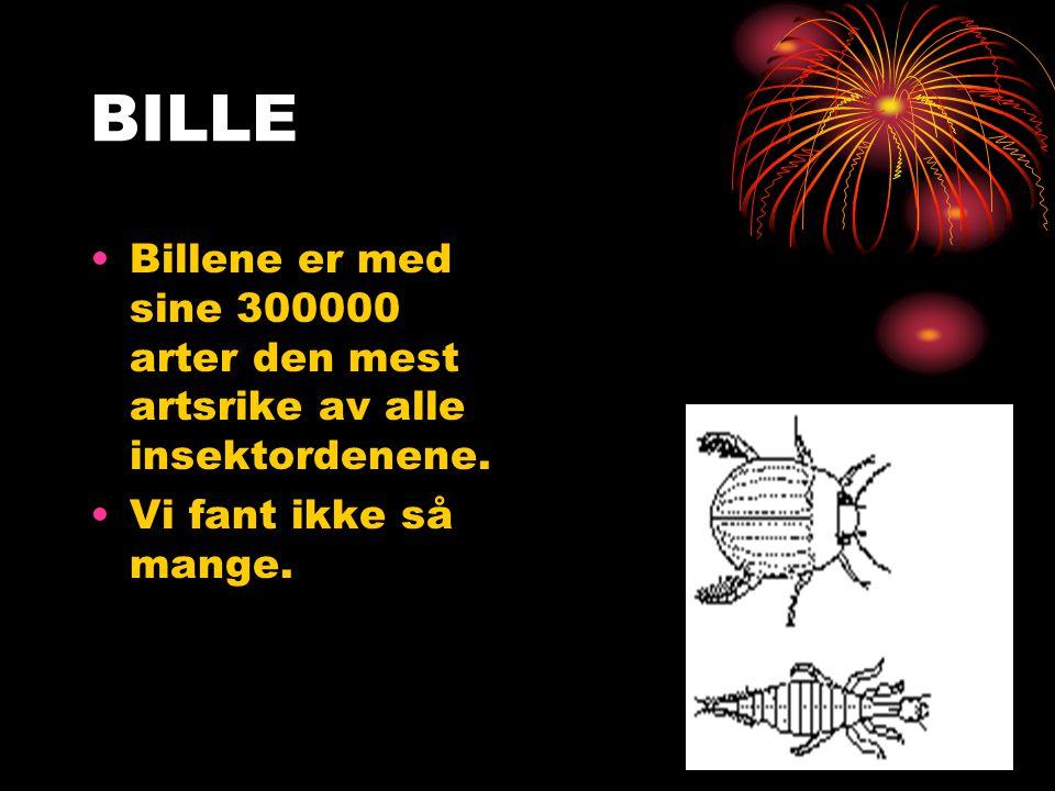 BILLE Billene er med sine 300000 arter den mest artsrike av alle insektordenene. Vi fant ikke så mange.