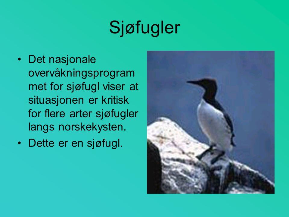 Sjøfugler Det nasjonale overvåkningsprogram met for sjøfugl viser at situasjonen er kritisk for flere arter sjøfugler langs norskekysten. Dette er en
