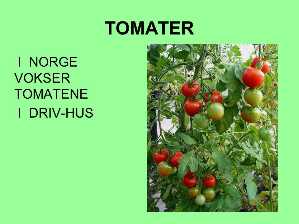 TOMATER I NORGE VOKSER TOMATENE I DRIV-HUS