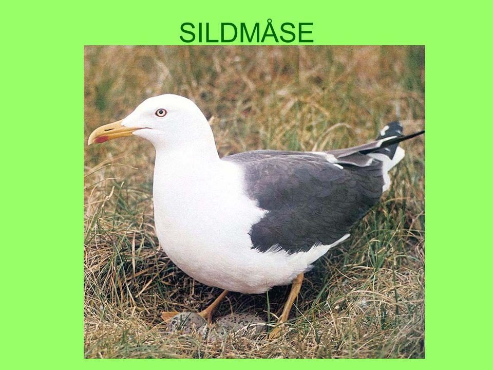 SILDMÅSE