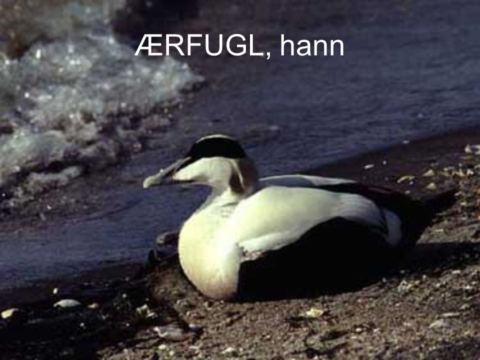 ÆRFUGL, hann