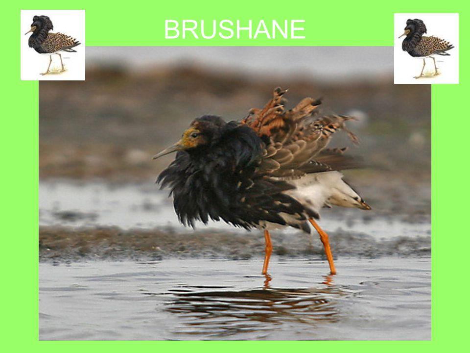BRUSHANE