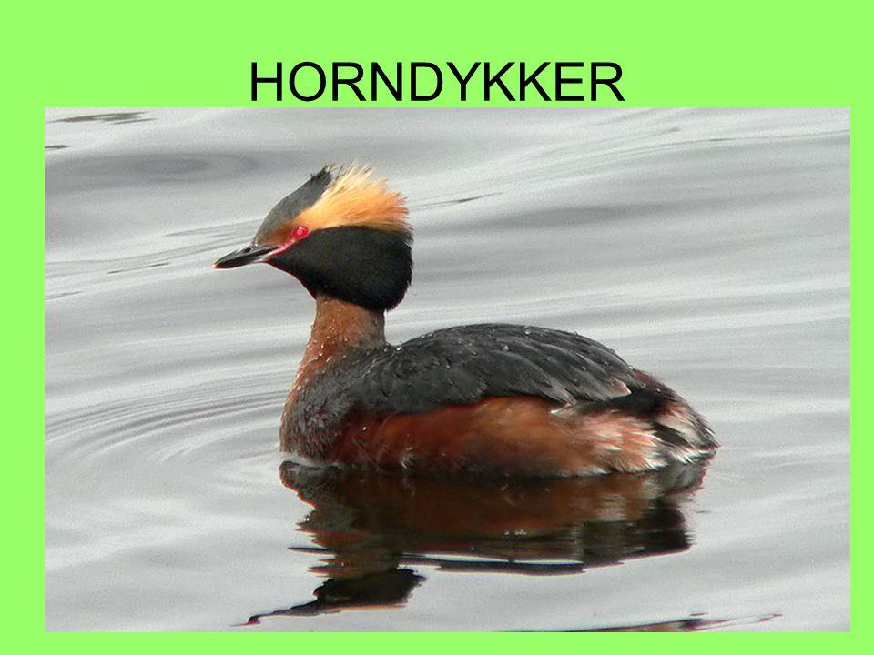 HORNDYKKER