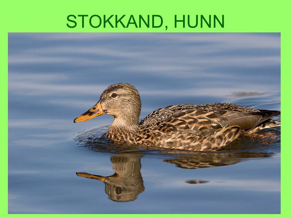 STOKKAND, HUNN