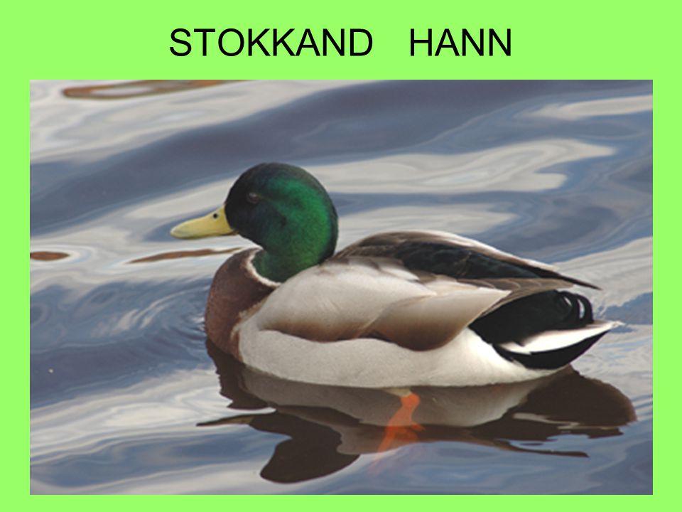 STOKKAND HANN