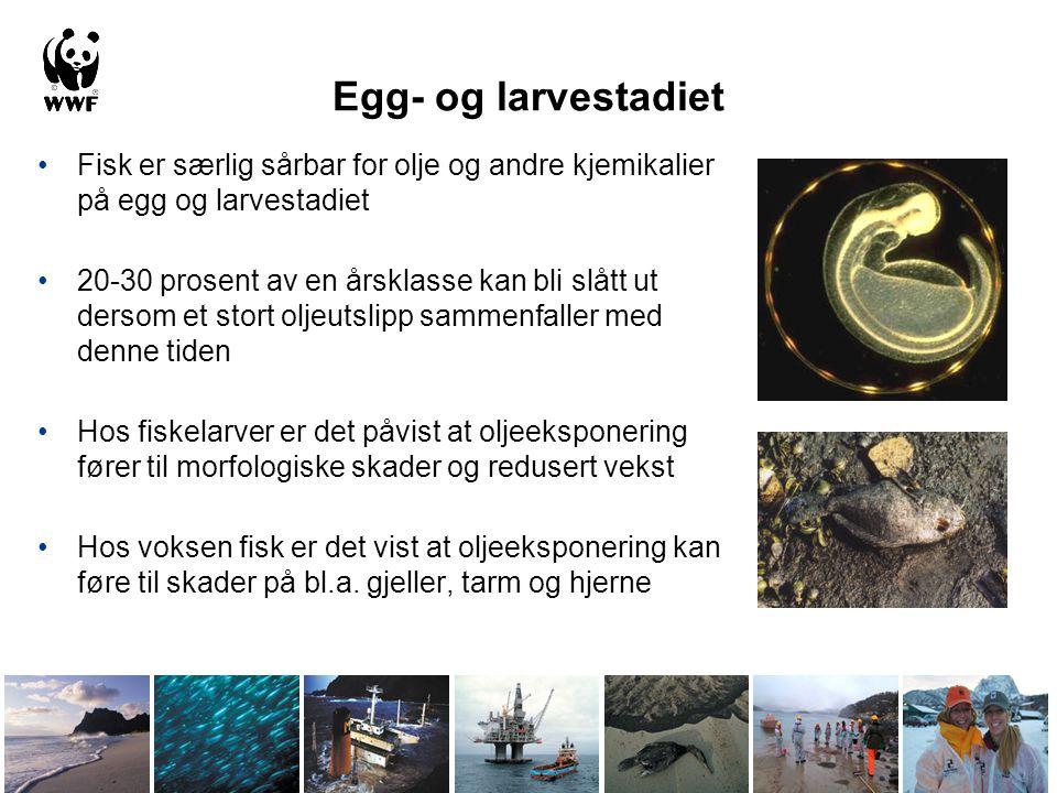 Egg- og larvestadiet Fisk er særlig sårbar for olje og andre kjemikalier på egg og larvestadiet 20-30 prosent av en årsklasse kan bli slått ut dersom