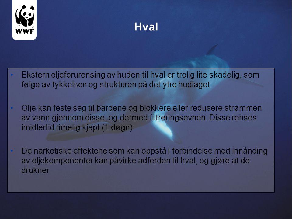 Hval Ekstern oljeforurensing av huden til hval er trolig lite skadelig, som følge av tykkelsen og strukturen på det ytre hudlaget Olje kan feste seg t