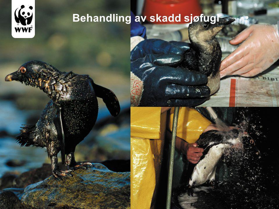 Behandling av skadd sjøfugl