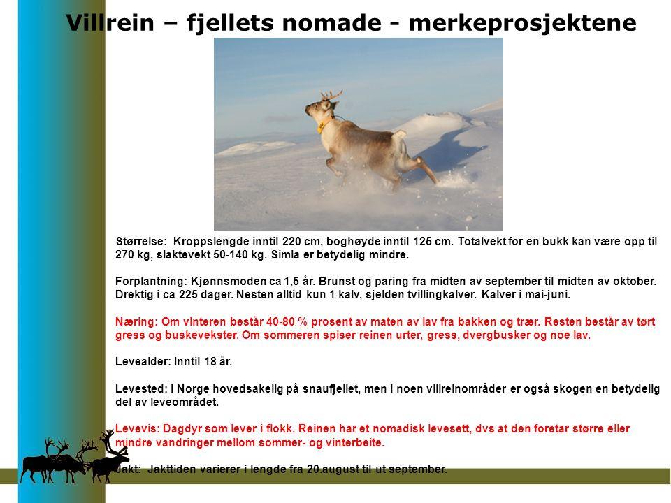 Villrein – fjellets nomade - merkeprosjektene Størrelse: Kroppslengde inntil 220 cm, boghøyde inntil 125 cm.