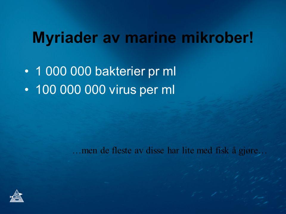 Myriader av marine mikrober! 1 000 000 bakterier pr ml 100 000 000 virus per ml …men de fleste av disse har lite med fisk å gjøre…