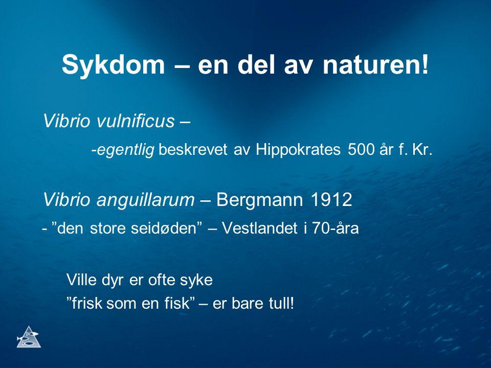 """Sykdom – en del av naturen! Vibrio vulnificus – -egentlig beskrevet av Hippokrates 500 år f. Kr. Vibrio anguillarum – Bergmann 1912 - """"den store seidø"""