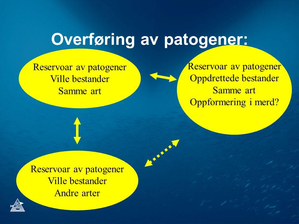 Overføring av patogener: Reservoar av patogener Ville bestander Samme art Reservoar av patogener Oppdrettede bestander Samme art Oppformering i merd?