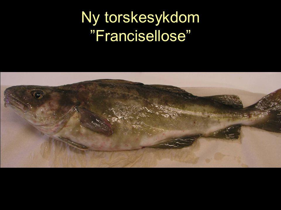 "Ny torskesykdom ""Francisellose"""