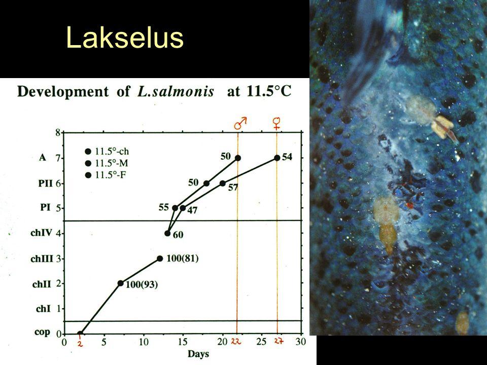 Francisella piscicida Temperatureffekter 18 ºC