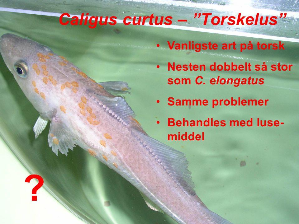 Caligus curtus – Torskelus Vanligste art på torsk Nesten dobbelt så stor som C.