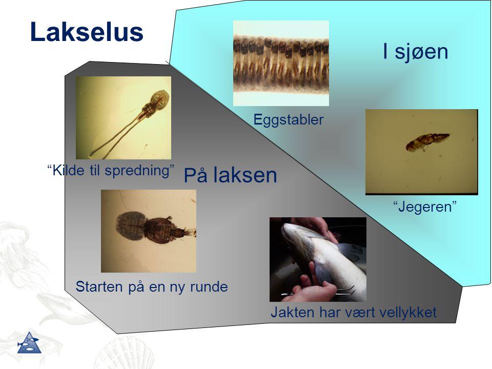 Påslag av lakselus i Osterfjorden 2 2 4 4 3 3 5 5 6 6 9 9 10 12 7 7 8 8 11