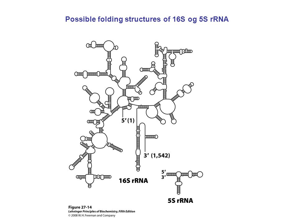 Possible folding structures of 16S og 5S rRNA