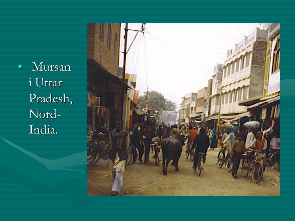 Mursan i Uttar Pradesh, Nord- India. Mursan i Uttar Pradesh, Nord- India.