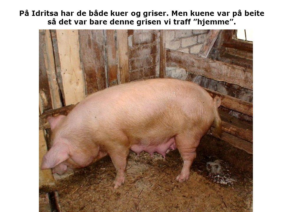 På Idritsa har de både kuer og griser.