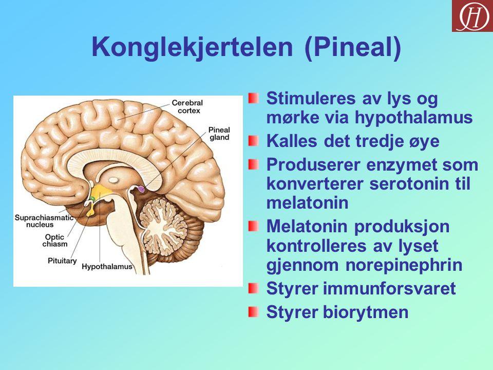 Konglekjertelen (Pineal) Stimuleres av lys og mørke via hypothalamus Kalles det tredje øye Produserer enzymet som konverterer serotonin til melatonin