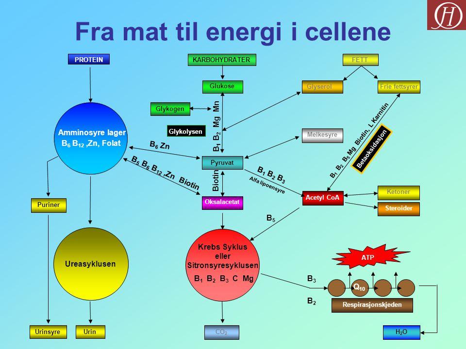 PROTEINKARBOHYDRATERFETT Glykogen Glukose GlyserolFrie fettsyrer Pyruvat Melkesyre Acetyl CoA Ketoner Steroider Amminosyre lager Ureasyklusen ATP H2OH2OCO 2 UrinUrinsyre Puriner Krebs Syklus eller Sitronsyresyklusen Respirasjonskjeden Oksalacetat Fra mat til energi i cellene Glykolysen Betaoksidasjon B 6 Zn B 5 B 6 B 12,Zn Biotin B 1 B 2 Mg Mn B 1 B 2 B 3 C MgB3B3 B2B2 Q 10 B 1 B 2 B 5 Mg Biotin, L Karnitin B 1 B 2 B 3 Alfa lipoensyre B5B5 Biotin B 6 B 12,Zn, Folat