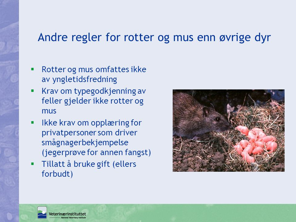 Andre regler for rotter og mus enn øvrige dyr  Rotter og mus omfattes ikke av yngletidsfredning  Krav om typegodkjenning av feller gjelder ikke rott
