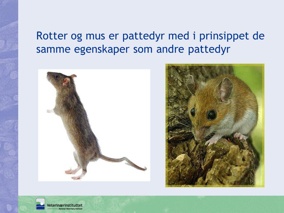 Rotter og mus er pattedyr med i prinsippet de samme egenskaper som andre pattedyr