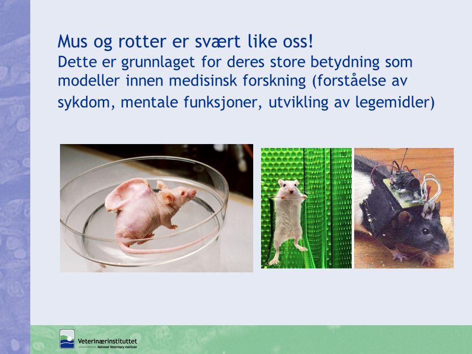 Mus og rotter er svært like oss! Dette er grunnlaget for deres store betydning som modeller innen medisinsk forskning (forståelse av sykdom, mentale f