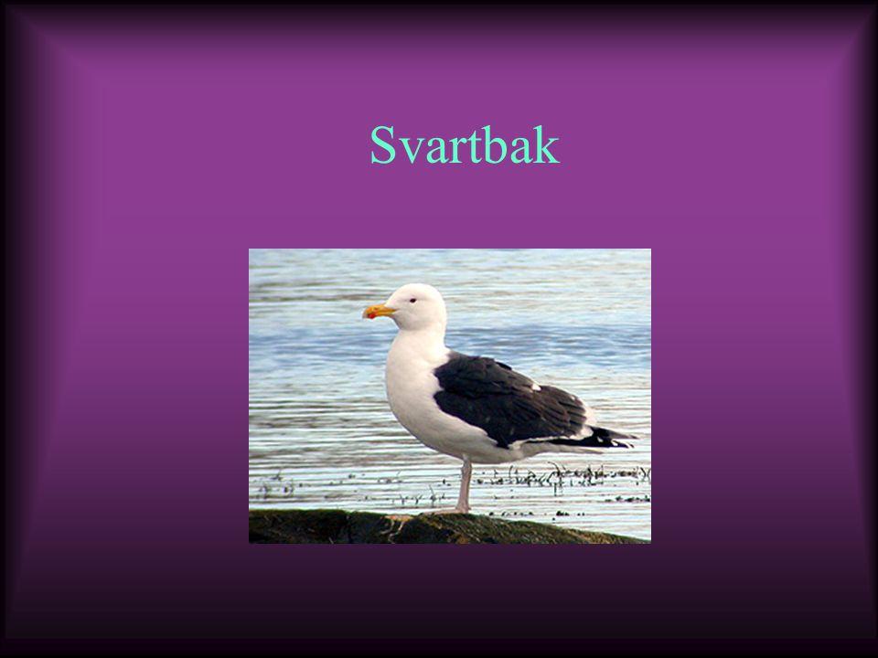 Svartbak