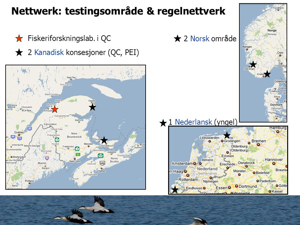 Québec- Gaspé White-winged Scoter 2,5kg Macreuse brune - Melanitta fusca - Predasjon i høst og vår uten is