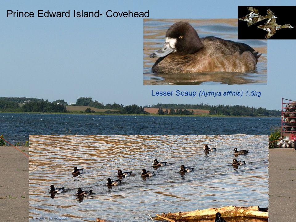 Nederland- Wadden See Ærfugl-Eider duck flock