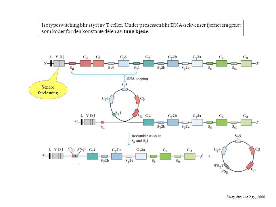 Isotypeswitching blir styrt av T celler. Under prosessen blir DNA-sekvenser fjernet fra genet som koder for den konstante delen av tung kjede. Kuby'Im