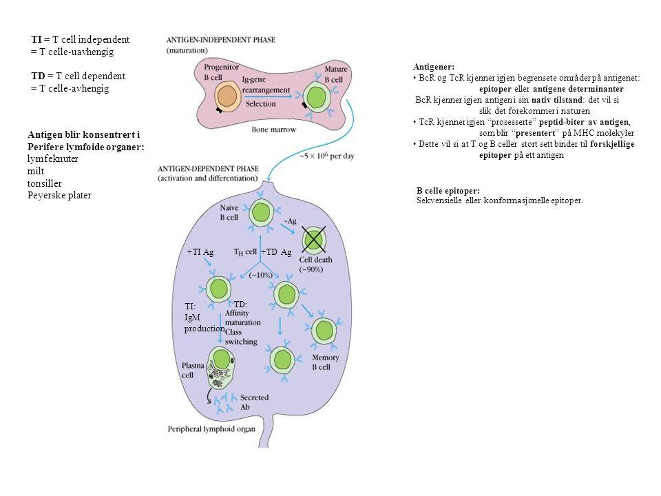 Antigen blir konsentrert i Perifere lymfoide organer: lymfeknuter milt tonsiller Peyerske plater +TD Ag+TI Ag TD: TI: IgM production TI = T cell indep