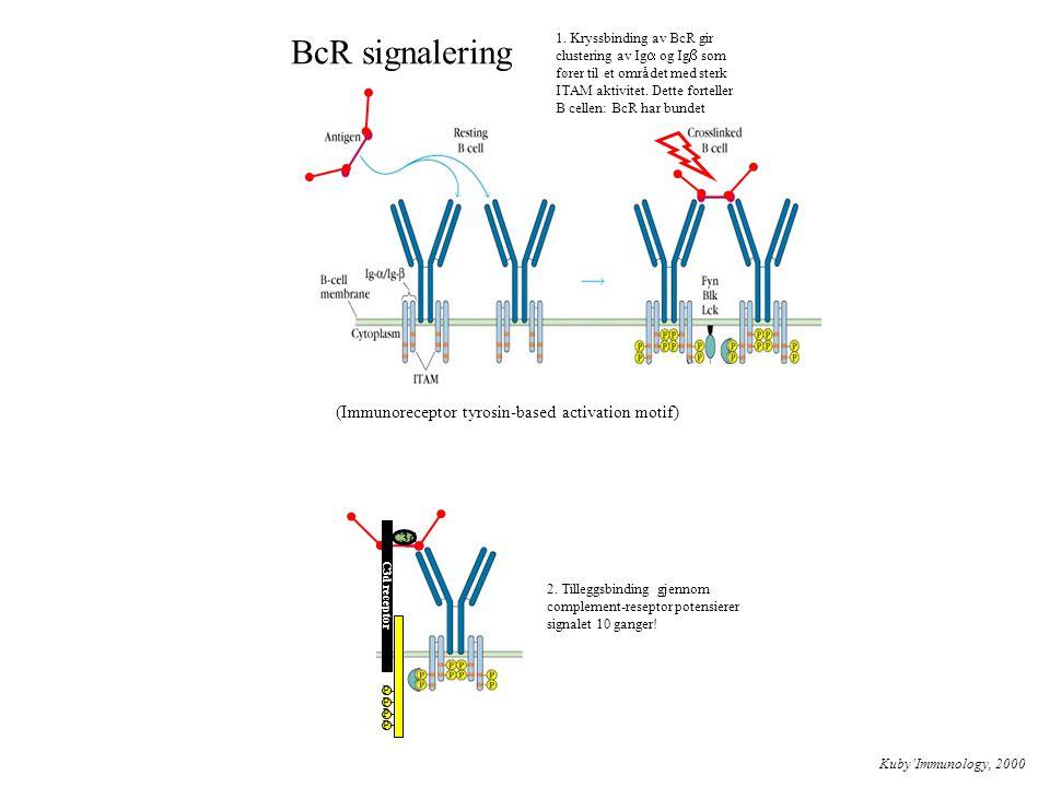 BcR signalering Kuby'Immunology, 2000 1. Kryssbinding av BcR gir clustering av Ig  og Ig  som fører til et området med sterk ITAM aktivitet. Dette f