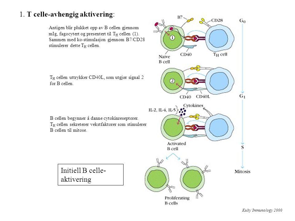 Kuby'Immunology 2000 Initiell B celle- aktivering Antigen blir plukket opp av B cellen gjennom mIg, fagocytert og presentert til T H cellen (1). Samme