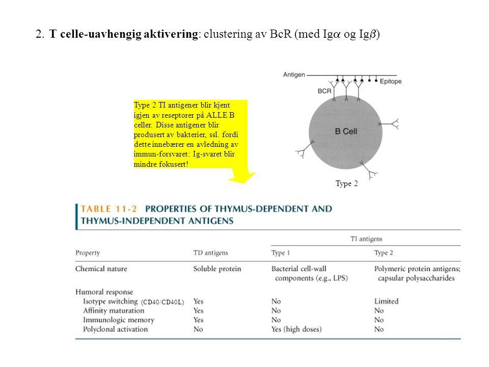 2. T celle-uavhengig aktivering: clustering av BcR (med Ig  og Ig  ) Type 2 (CD40/CD40L) Type 2 TI antigener blir kjent igjen av reseptorer på ALLE