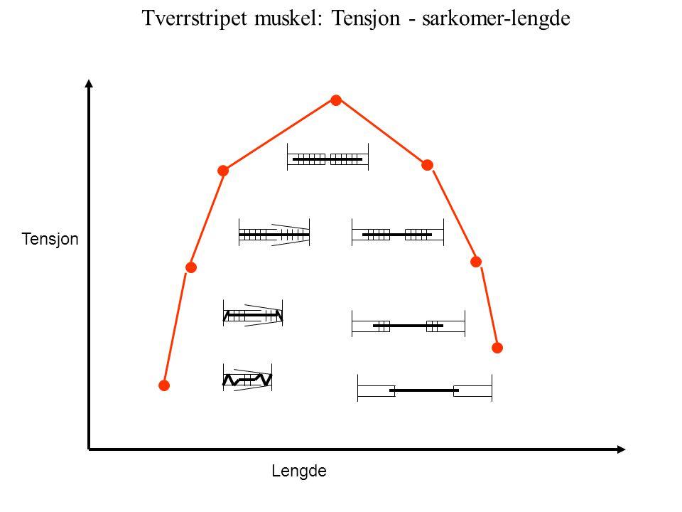 Tensjon Lengde Tverrstripet muskel: Tensjon - sarkomer-lengde