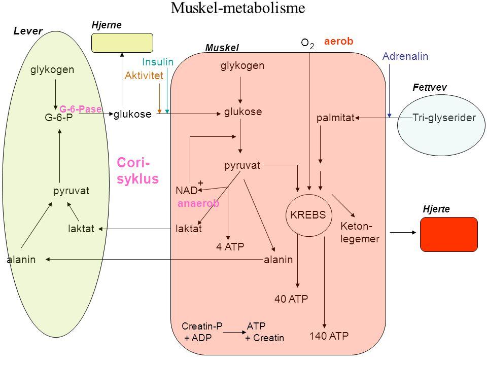 alanin laktat pyruvat G-6-P glukose KREBS glykogen glukose pyruvat 40 ATP glykogen 4 ATP NAD + O 2 140 ATP palmitat Keton- legemer Hjerte Tri-glyserid