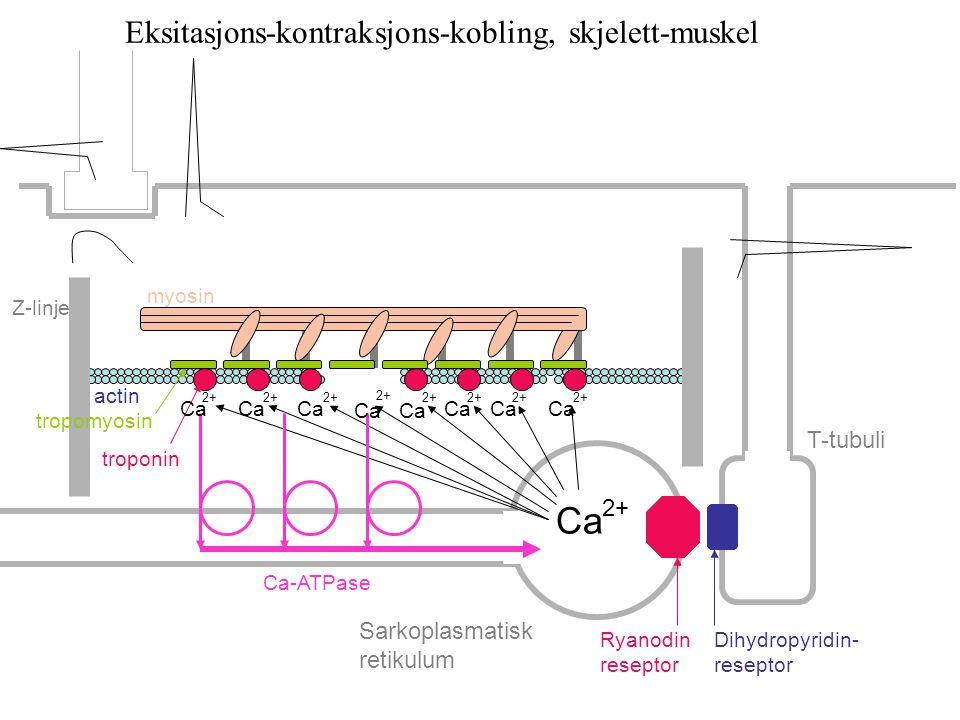 Eksitasjons-kontraksjons-kobling, skjelett-muskel Ca 2+ Z-linje myosin actin tropomyosin troponin Ca-ATPase Ryanodin reseptor Dihydropyridin- reseptor