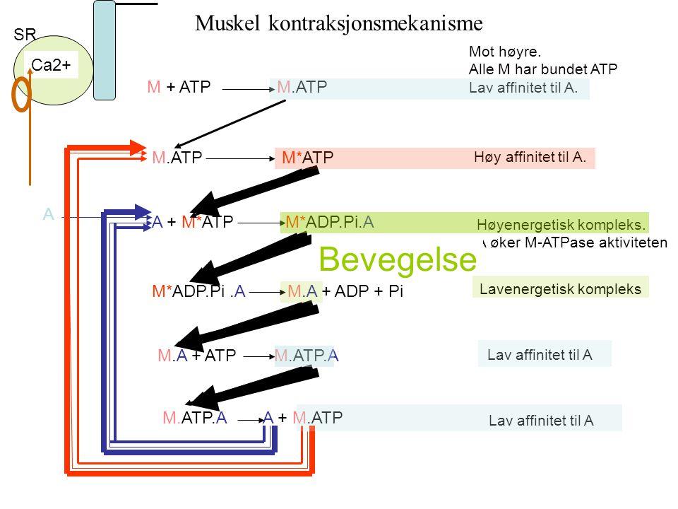 Mot høyre. Alle M har bundet ATP Lav affinitet til A. Høy affinitet til A. A Ca2+ Høyenergetisk kompleks. A øker M-ATPase aktiviteten Lavenergetisk ko