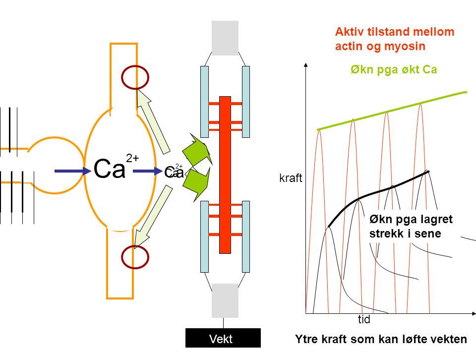 Vekt Ca 2+ Ca 2+ Ca tid kraft Aktiv tilstand mellom actin og myosin Ytre kraft som kan løfte vekten Økn pga økt Ca Økn pga lagret strekk i sene