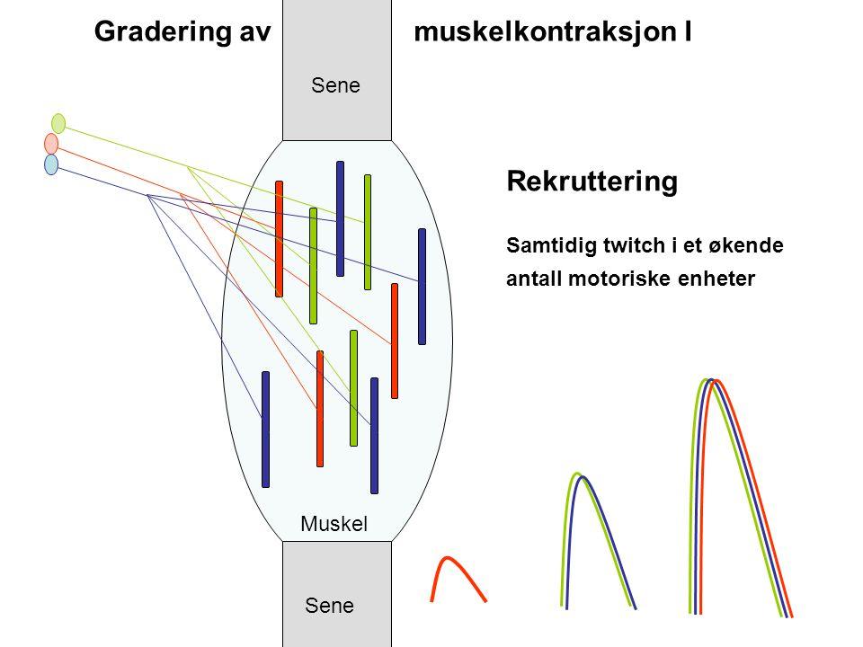 Rekruttering Samtidig twitch i et økende antall motoriske enheter Sene Muskel Gradering av muskelkontraksjon I